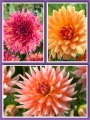 Tutti Fruitti Mixed Dahlias (Pack of 9 Tubers/Bulbs)