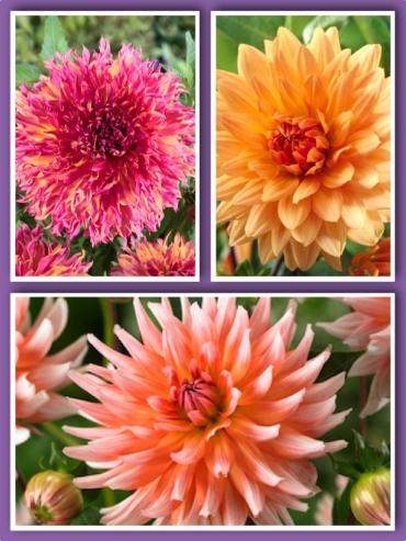 Tutti Fruitti Mixed Dahlias (Pack of 9 Tubers/Bulbs)