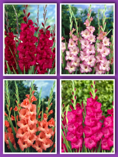Mixed Gladiolus (Pack of 30)