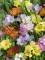 Mixed Freesias (Pack of 40 Bulbs) | Excellent value!