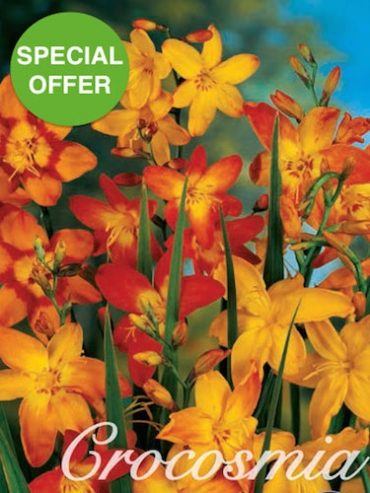 Mixed Crocosmia (Pack of 40) | AMAZING OFFER!