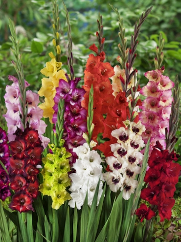 Mixed Gladiolus (Pack of 25) | Special Offer!