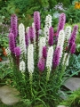Liatris Spicata Mixed (Pack of 10 Bulbs)