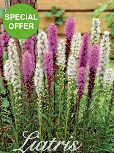 Mixed Liatris (Pack of 25 Bulbs) | SPECIAL OFFER
