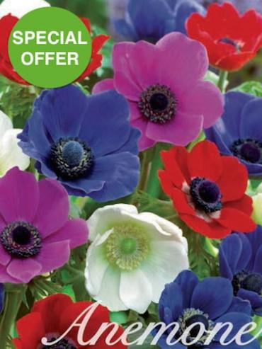 Mixed Anemone De Caen (Pack of 50 Bulbs) | FANTASTIC VALUE!