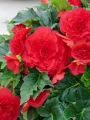 Double Red Begonia