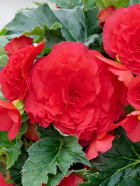 Begonia Double Red (Pack of 5)