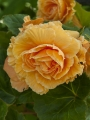 Double Orange Begonia