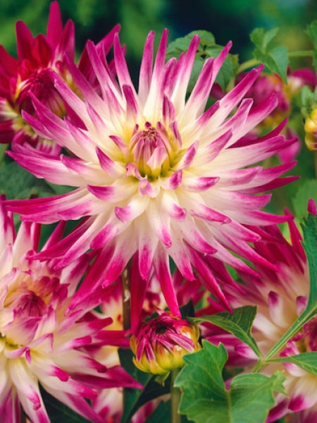 Dahlia 'Hayley Jane' (Pack of 3 Tubers/Bulbs)