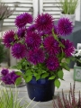 Dahlia 'Purple Gem' (Pack of 3 Tubers/Bulbs)
