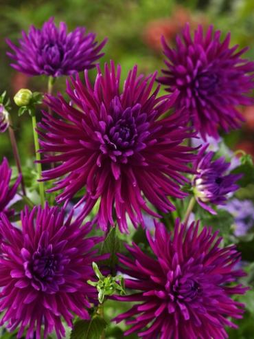 Dahlia 'Purple Gem' (Pack of 3 Tubers/Bulbs)
