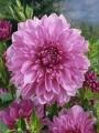 Dahlia 'Lavender Perfection'