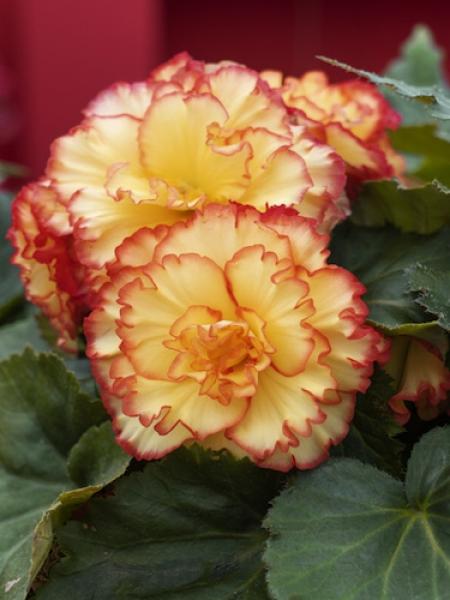 Begonia Picotee Orange (Pack of 5)