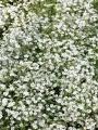 Gypsophila White 'Fairy Perfect'