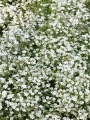 Gypsophila White 'Fairy perfect' (Pack of 3 Bare Roots)
