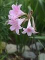 Amaryllis Belladonna (Pack of 3)
