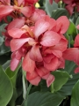 Pink Canna (Pack of 3)
