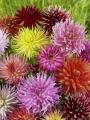 Mixed Cactus Dahlias