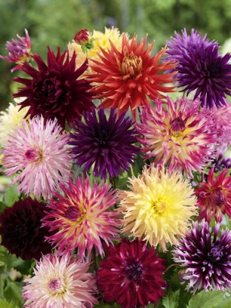 Mixed 'Cactus' Dahlias (Pack of 5 Tubers/Bulbs)