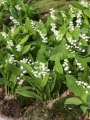 Lily of the Valley in rockeries