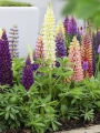 Mixed Lupins for flower beds