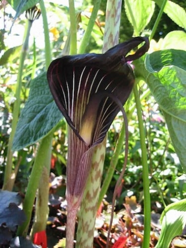 Arisaema 'Cobra Lily' (Pack of 3)   Top Size Bulbs!