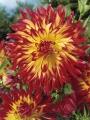 Cactus Dahlia Vuurvogel