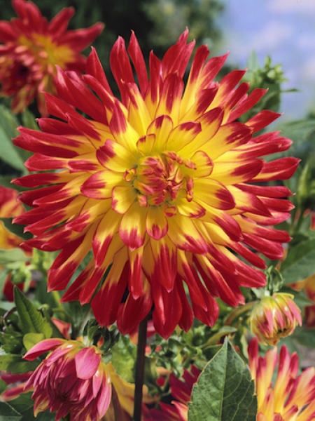 Dahlia 'Vuurvogel' (Pack of 3 Tubers/Bulbs)