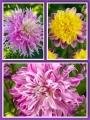 Lavender Dream Mixed Dahlias (Pack of 9 Tubers/Bulbs)