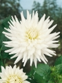 My Love Cactus Dahlia