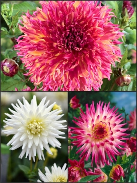 Candy Floss Mixed Dahlias (Pack of 9)
