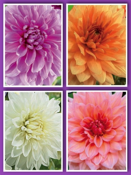 Pastel Beauty Mixed Dahlias (Pack of 12 Tubers/Bulbs)