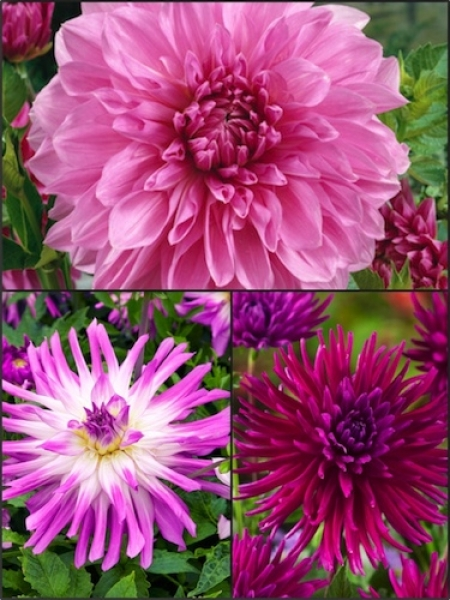 Turkish Delight Mixed Dahlias (Pack of 9)
