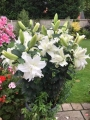 Pot display of Lily Empress
