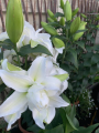 Double White Lily