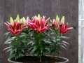 Magny Cours Lily in pots