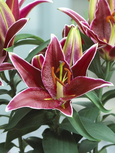 Lily 'Magny Course'