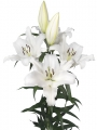 Lily 'Oracle'