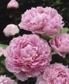 Beautiful Sarah Bernhardt Pink Peony