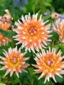Dahlia 'Okapi's Sunset' (Pack of 3 Tubers/Bulbs)
