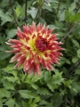 Dahlia Summer Breeze