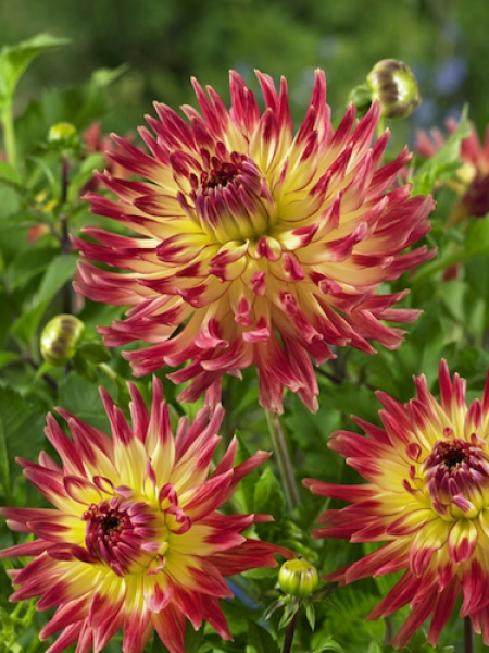Dahlia 'Summer Breeze' (Pack of 3 Tubers/Bulbs)