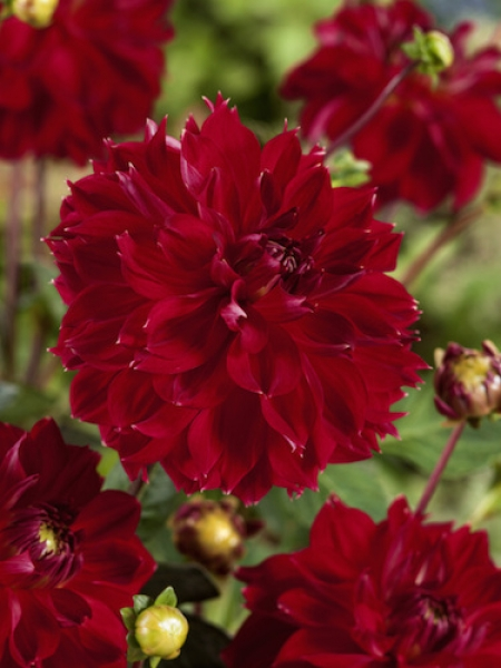 Dahlia 'Cherbourg' (Pack of 3 Tubers/Bulbs)