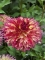 Dahlia 'Myrtle's Folly' (Pack of 3 Tubers/Bulbs)