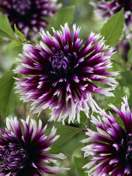 Dahlia 'Clair-Obscur' (Pack of 3 Tubers/Bulbs)