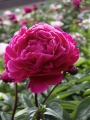 Red/Pink Peony