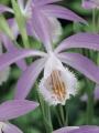 Pleione Windowsill Orchid