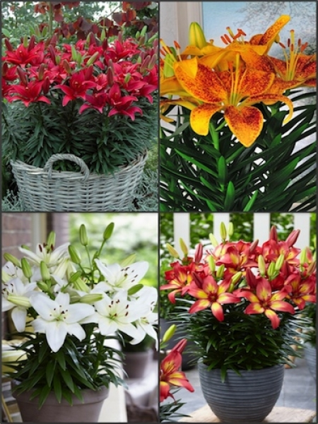 'Tiny Series 2' Lily Bulb Collection (Pack of 12 Bulbs)