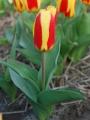 Tulip 'Stresa'