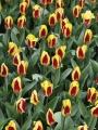 Stresa Tulips